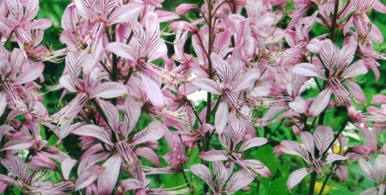 ВНИМАНИЕ! Ядовитое растение «Неопалимая купина»
