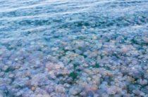 Огромное количество медуз на побережье Евпатории