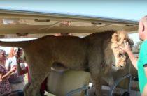 Лев запрыгнул в автобус к туристам (видео)