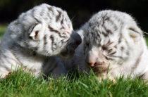 В Крыму родились редкие белые «королевские» тигрята (фото)