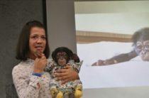 В Ялте в зоопарке отеля «Ялта — Интурист» родился второй детеныш шимпанзе