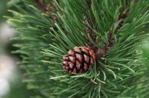 Накануне Нового года ялтинцам напомнили о наказании за браконьерскую рубку сосны