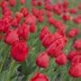 В Никитском ботсаду откроется парад тюльпанов