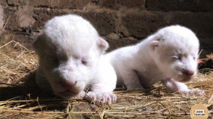 В Крыму родились редкие белые львята