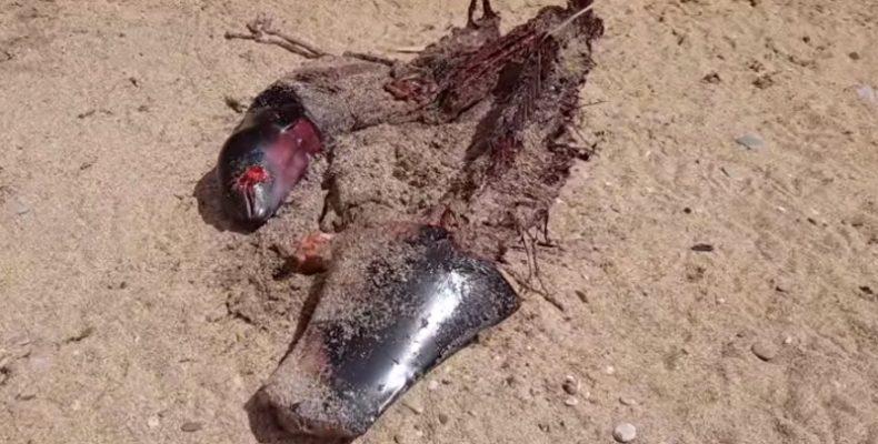 В Крыму объявились торговцы мясом выброшенных морем мёртвых дельфинов