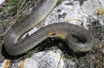 В городах Крыма нашествие змей