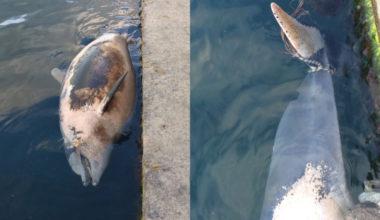 К пирсу набережной Алушты привязали труп дельфина