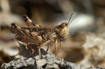 На Крым напала мароккская саранча