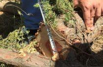 Жителю Удмуртии грозит штраф за уничтожение можжевельника в Крыму