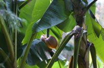 Крым: в Судаке расцвели бананы (видео)