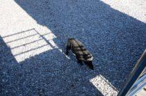 Гурзуф: гибель дикого кабан — дебошира