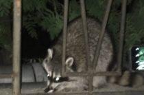 Алупка: по улицам бегает беспризорный енот (ВИДЕО)