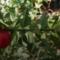 В Ливадии вырубили 26 кустов краснокнижного растения