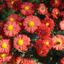 Парад хризантем в Никитском Ботаническом саду 2019