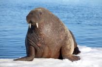 Дальневосточные моржи прошли карантин в Крыму
