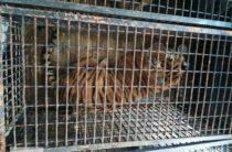 Направлявшиеся в Дагестан тигры погибали на польско-белорусской границе