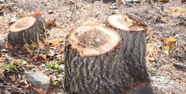 Крым: в Симферополе возбудили дело из-за незаконной вырубки деревьев