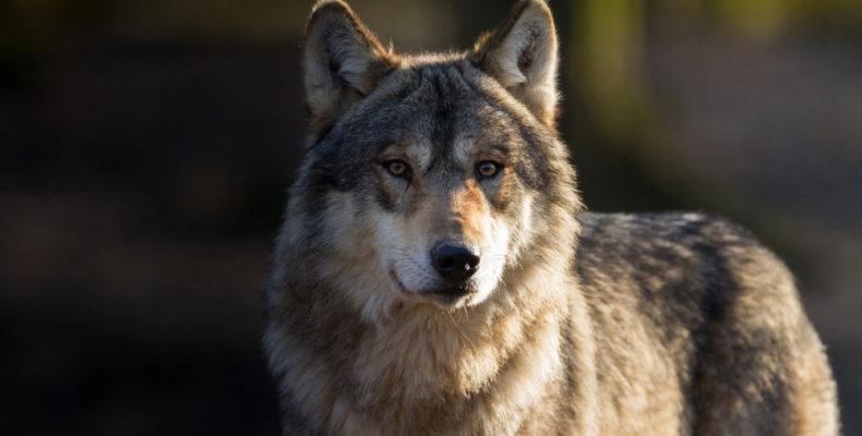Крым: волки напали на стадо коз