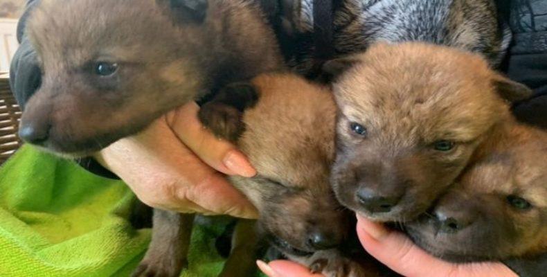 Крым: детенышей убитой  волчицы приютили в зоопарке