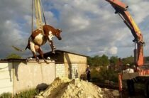 Крым: невероятные приключения коровы