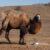 Крым: верблюда хотели пустить на мясо