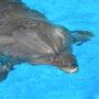Крым: ученые разобрали отдельные слова в языке дельфинов